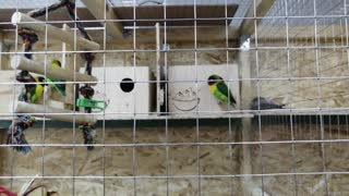 Lovely parrots breed.