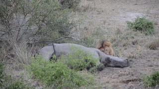 Lion Munches Down on Rhino - Video