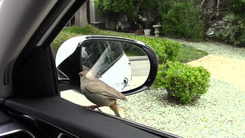 Bird furiously obsessed with car mirror reflection