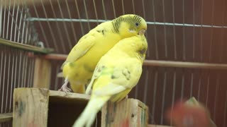 A love story between canary birds