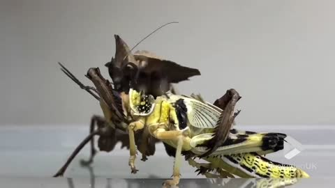 Praying Mantis eating a whole Locust