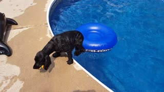 Smarty pants English Cocker retrieves ball from our pool - Video