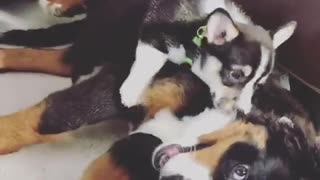 Australian shepherd puppy play fights with adult dog - Video