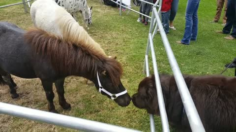 Giant dog meets the miniature horses