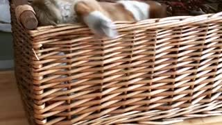 Brown corgi puppy climbs into wicker basket