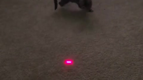 Cat playing with Lazer 2