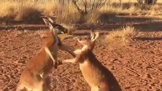 Kickboxing Kangaroo Buddies - Video