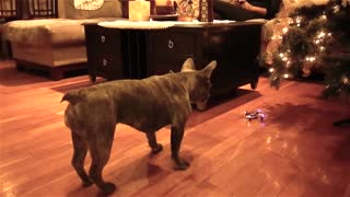 French Bulldog Tries To Chase Mini Quadcopter - Video