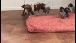 Nanny Basset Hound entertains large litter of puppies - Video