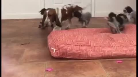 Nanny Basset Hound entertains large litter of puppies