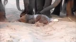 Fantastic and rare day time footage of a wild elephant giving birth - Video