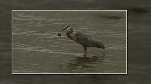 Great Blue Heron Swallowing Small Fish