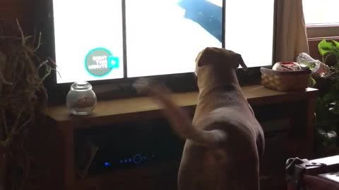 Dog totally fascinated by other dogs on TV