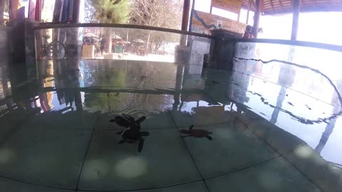 A Swimming Pool Full Of Baby Turtles Might Be The Cutest Thing You See Today