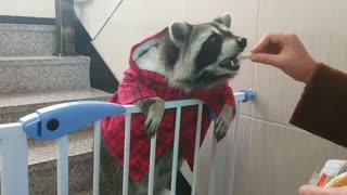 Raccoon stands in a hoodie and eats snacks.
