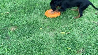 Duke's first time with a frisbee!!