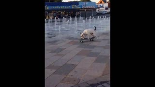 Staffordshire Bull Terrier Is A Skateboarding Pro