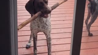 Dog can't figure out how to bring stick into home