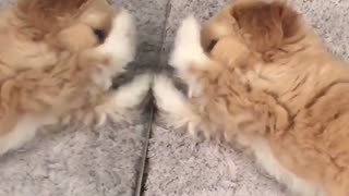Fluffy brown dog plays with himself in mirror