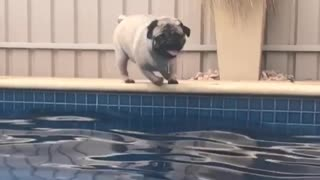 Pug slow motion jump into pool - Video