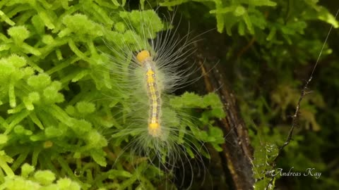 Long-haired caterpillar in Amazon rainforest of Ecuador