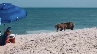English Bulldog Wants to Play with Wild Horses on Beach
