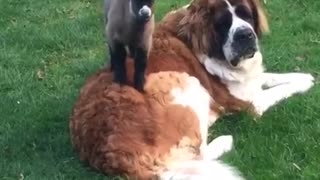 Saint Bernard befriends orphaned baby goat