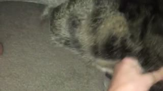 Gray cat getting pulled out of a hole in a bed