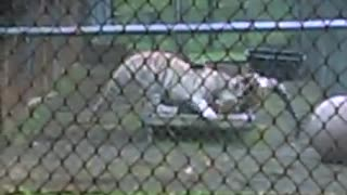 Male and Female Tigers Playing