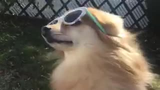 Small brown dog with blue glasses on