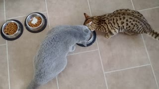 Intelligent cat knows how to outsmart larger feline - Video