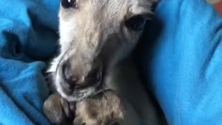 Baby Kangaroo Cleans her Paws