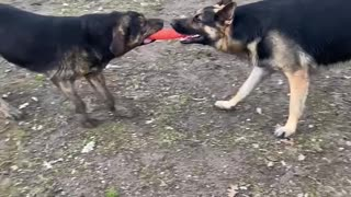Ryker playing tug with his best friend Spirit