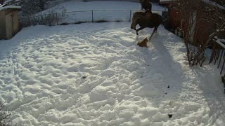 Mother Moose Tramples Dog - Video