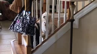 Black dog tries to get treat out of blue bag on stairs, faceplants - Video