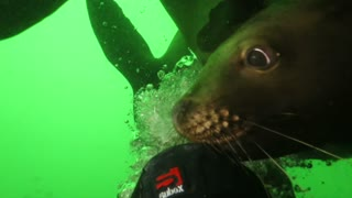 Flash Mob Of Sea Lions Is Closely Interacting With Scuba Divers