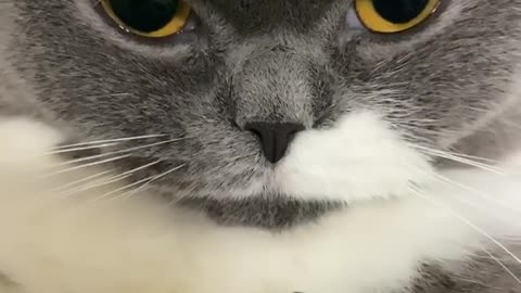 Chillest cat ever gives very deadly look to the camera