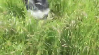 Black dog running on tall grass  - Video