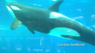 SeaWorld to phase out killer whale show in San Diego