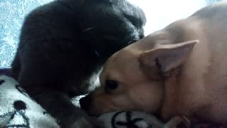 The cat has sheltered a dog and has washed him the language  - Video