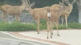 Wild Deer Casually Stroll Through Residential Neighborhood