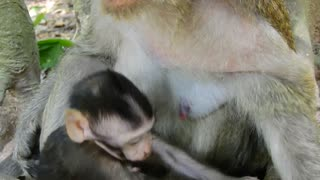 Pig Tail Love Baby Monkey But Don't Have Much Chance - Video