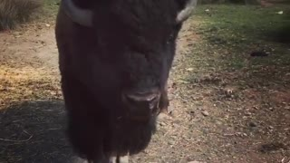 Buffalo eats bread out of car attacks camera - Video