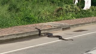 Sizable Snake Slithers Across Road