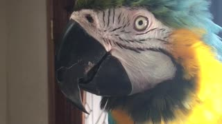Charley blue and gold macaw saying I don't wanna cry