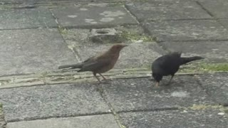 Blackbird eating chicken  - Video