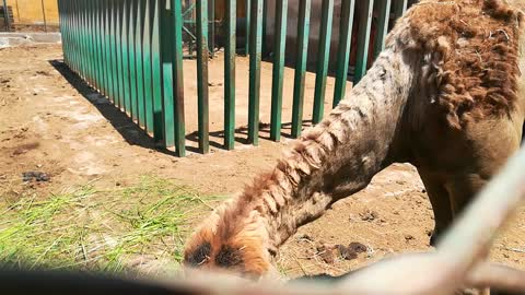 Baby Feeds Hungry African Camel In Zoo