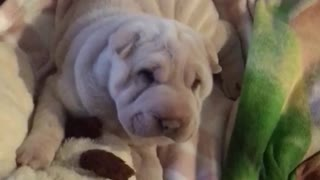 Sharpei white puppy wagging tail in doggy bed - Video