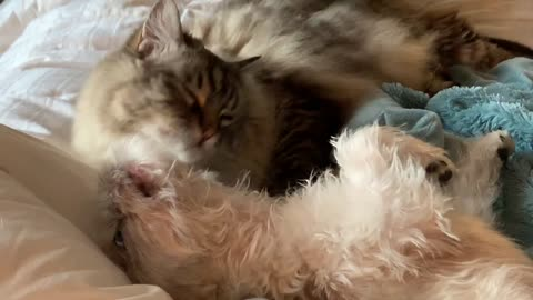 Cat holds down dog in order to groom her