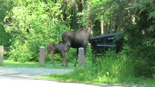 Moose with 2 calves